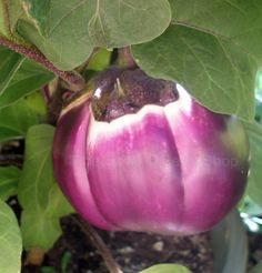 Eggplant 'Rosa Bianca'   This Italian heirloom is very well known. It is white shaded with purple. Beautiful and delicious!