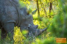 Rhinoceros enjoying the Morning Light - South Africa