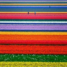 Fields of flowers in Alkmaar, North Holland netherland, album covers, color, tulip, flower fields, place, rainbow, garden, bucket lists