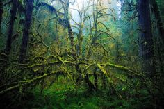 """It was way up in the Hoh Rainforest in the Olympic Peninsula. It is a true temperate rainforest, averaging 150"""" of rain a year. The rainforests and forests in general are what draw me in. This """"tree"""" is actually a large Big Leaf Maple(at least 100 ft) with a Vine Maple branching out in the foreground. Both are covered in mosses, like many of the trees in the rainforest. It is so lush and so hard to compose, but this scene just jumped out. The small bit of fog really helped the atmosphere. Lat..."""