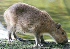 #capybara