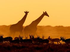 Giraffes and Gazelles