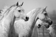 Grey Arabian Horses