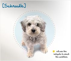 If you guessed the Schnoodle is the result of the crossing of a Schnauzer with a Poodle, you're right! Read more about this breed by visiting Petplan pet insurance's Condition Checker!