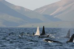 Killer Whales in Russia
