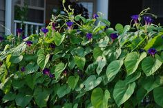 Morning glories - I don't care that they are prolific re-seeders, I love them!