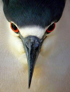 black crowned night heron  (photo by paruula)
