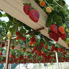 strawberries in gutters and supported by tie rods, cool
