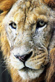 Lion face, via Flickr.