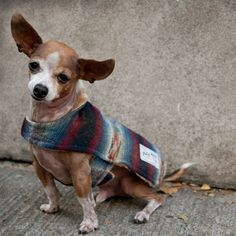 {Americana Jacket} Billy Wolf - aw, lil Chihuahua looks so cozy in that wool sweater coat!