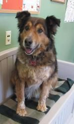 Brownie is an adoptable Collie Dog in Onalaska, WI.   Loveable, sweet, and affectionate Brownie!  Brownie is a mellow old man that is looking for his forever family!           HOUSETRAINED?  Brownie w...