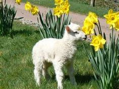 farm, easter, baby lamb, pet, lambs, daffodils, cottages, blog, flower