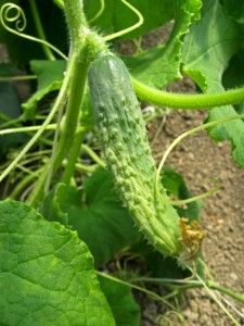 ~ tips for growing cucumbers