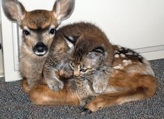 A fawn and bobcat rescued from wildfire. Too precious not to share!
