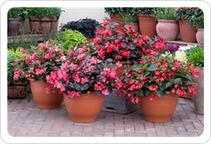 Whopper begonias--new this year--must try!