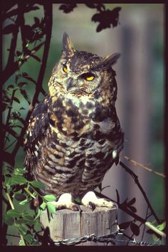 GREAT owl resource! (links to information,  many great images of owls, etc...)
