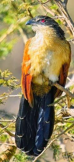 Burchell's Coucal (Centropus burchellii), African bird