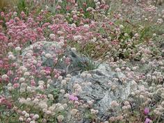 California Native Plants Garden