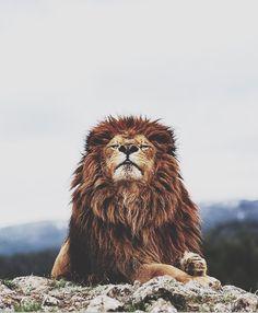 wild and free | king of the jungle | lion | roar | pride | safari | www.republicofyou.com.au