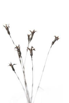 wild carnation stems (mary jo hoffman)