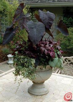 Colocasia 'Black Magic', Brunnera 'Jack Frost', Begonia rex 'Benitochiba', Heuchera 'Black Beauty', Hedera helix 'Gold Child' | protractedgarden