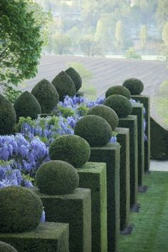 Wisteria and box topiary at Chateau de la Ballue