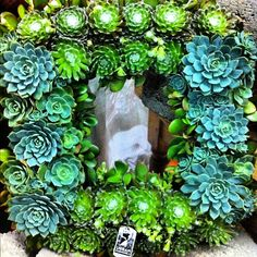Urban Farmgirl  #succulentwreath.  #sfflowerandgardenshow #succulents #succulent http://www.russwholesaleflowers.com/wholesale-succulent-sale  RusswholesaleFlowers.com offers the best wholesale succulent prices available to the public online.  wholesale succulents for bouquets, special events, wreaths, diy and more.  3 different sizes to meet your needs.