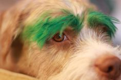 pictures of dyed dog