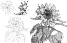 tattoo idea drawing a delicate sunflower