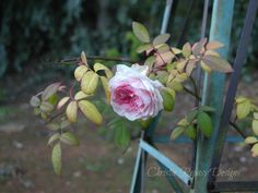 this the last rose left in my yard, the colors caught my eye.