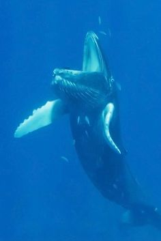 Whale with his mouth open.