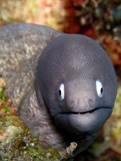Moray eels are cosmopolitan eels of the family Muraenidae. The approximately 200 species in 15 genera are almost exclusively marine, but several species are regularly seen in brackish water, and a few, for example the freshwater moray (Gymnothorax polyuranodon), can sometimes be found in fresh water