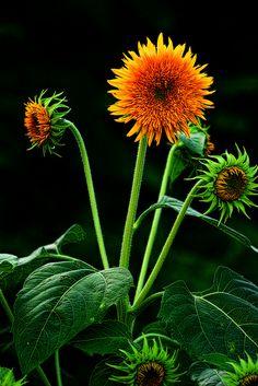 Sunflower. |