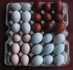 the pale blue eggs are from Ameraucana chickens, the dark brown eggs are Cuckoo Maran eggs.