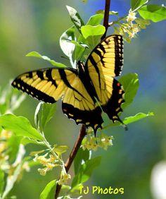 beauti butterfli, tiger swallowtail, dragonfli, sky, butterflies, butterfli moth, delaware, beauty, swallowtail butterfli