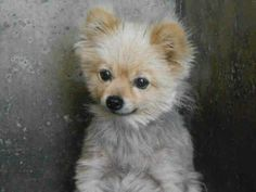 EXTREMELY URGENT! LAST MOMENTS! LITTLE FEMALE 2 year old POMERANIAN WITH TREATABLE MINOR SKIN INFECTION (PYODERMA). PLEASE CALL THE SHELTER IF YOU CAN SAVE HER! (714) 935-6848  AT OC ANIMAL CARE, 561 THE CITY DRIVE SOUTH, ORANGE, CA 92868 ALSO, IF YOU HAVE FACEBOOK, LEAVE COMMENT IN THREAD FOR ANGELS FOR ANIMALS NETWORK FOR POMERANIAN, ID#A1269070 AND LEAVE A PRIVATE MESSAGE WITH ANGELS FOR ANIMALS NETWORK. THANK YOU!