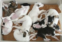 I must have another Silken Windhound puppy!