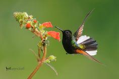 Black-bellied Hummingbird.  Costa Rica.  Bird photography by Jeff Wendorff