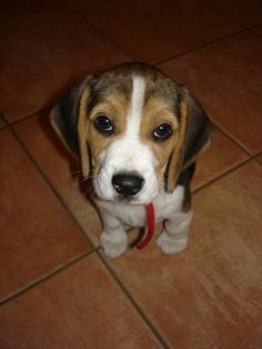 That beagle face is adorable.