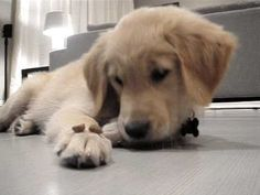 "Golden Retriever puppy told to ""leave it."" Not only is this puppy unbelievably adorable, watching her resist the kibbles on her paw is the best!"