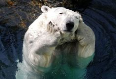 Check out this #cute bored #polarbear  Via CuriousAnimals