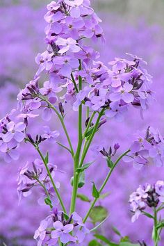 Phlox has lovely scent and wonderful range of colors. Link has tips on planting, care, and pests.