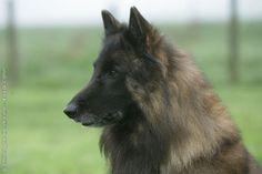BELGIAN SHEPHERD DOG TERVUREN