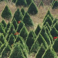 Recycle Your Christmas Tree  The gift that keeps on giving