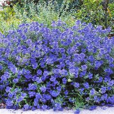 Flowering Shrubs by Season  Bluebeard (Caryopteris selections)  Enlarge Image  close    Add bluebeard (sometimes called blue mist spirea) wherever you want a refreshing punch of blue color in the late summer to early fall landscape. You can find varieties with variegated, golden, or chartreuse foliage, or pink flowers, too. Most grow 3 feet tall and wide. Zones 4-8