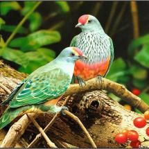 Fruit Dove.