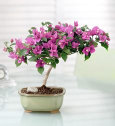 plant, bonsai beauti, flowering bonsai, bougainvillea bonsai, beauty, homes, flowers, garden, bonsai art
