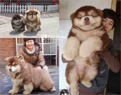 This is a mix between a Chow Chow and a Husky called a Chusky and I want it.