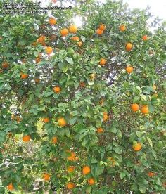 An orange in your Christmas stocking? christma stock, orang tree, valencia orang, trees, tree ect, oranges, christmas stockings, christma kid, standard valencia