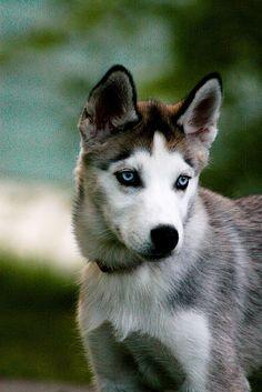 Blue Eyed Beauty Siberian Husky Dog Puppy Puppies